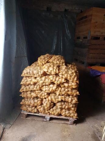 Ziemniaki Bellaroza Tajfun Denar Owacja Jelly