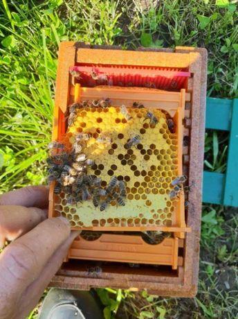 Пчеломатка Карпатки Продуктивная Плодные. Carpatica (Карпатка)