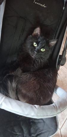 Zaginął niewychodzący czarny kot Skaszyn