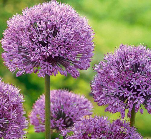 Аллиум фиолетовый ( декоративный лук )
