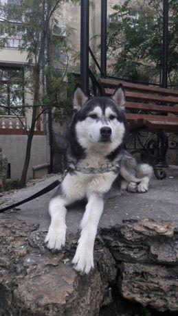 Сибирский хаски вязка бесплатно