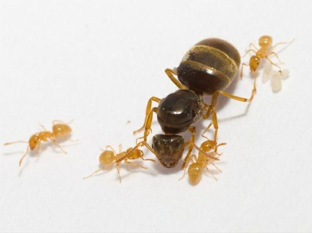 Mrówki Lasius flavus  królowa i około 20 robotnic