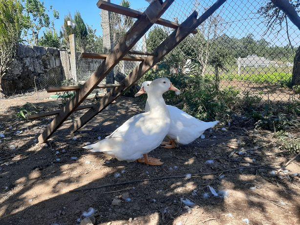 Patos brancos do campo