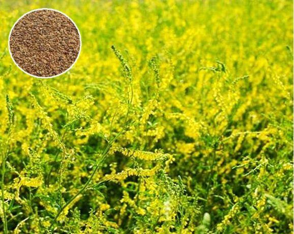 Nostrzyk żółty (Melilotus officinalis) certyfikowany 3,50 zł/kg