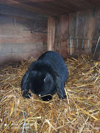 Sprzedam króliki baran francuski