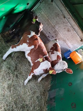 Łabunie byczki i jałóweczki