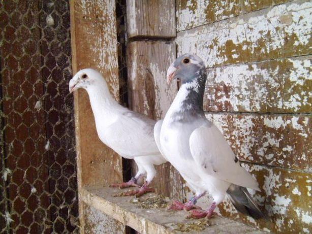 rzeszowskie gołębie