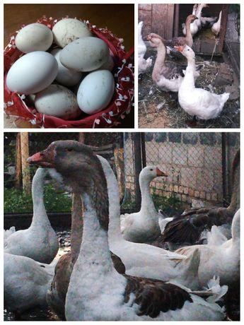 Гусиные яйца для инкубации