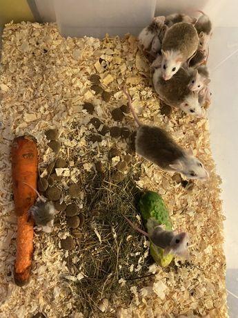 Mastomys, Mastomysz, Myszówka - bieguski i średnie