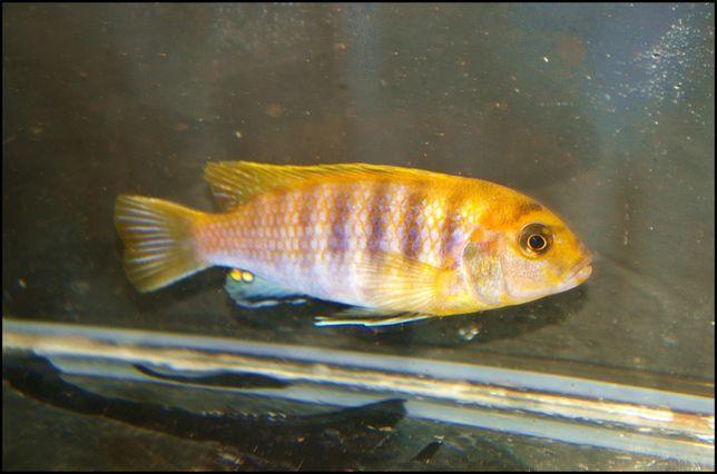 Malawi - pyszczak -Labidochromis Hongi