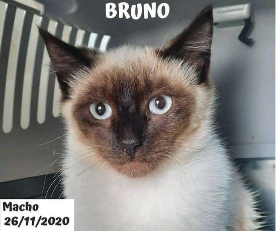 Gato 7 meses para adoção (Bruno)