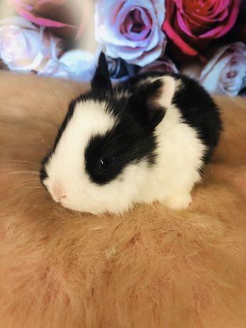 DO REZERWACJI Królik króliczek miniaturka karzełek