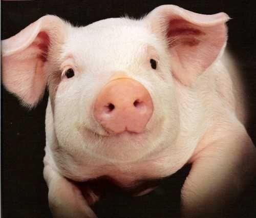 Продам тушку свині