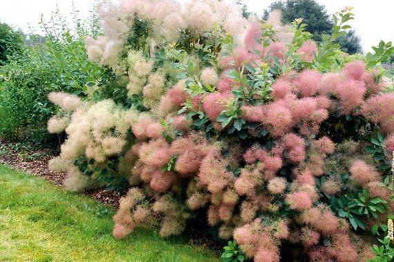 Perukowiec - Delikatny Oryginalny Pięknie kwitnący Mało wymagający