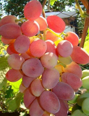 Саженцы винограда столовых и кишмишных сортов.