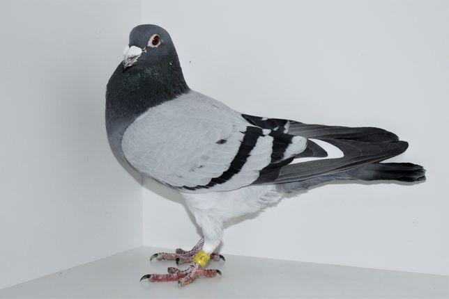 Gołębie pocztowe LADEMANN - FABRY