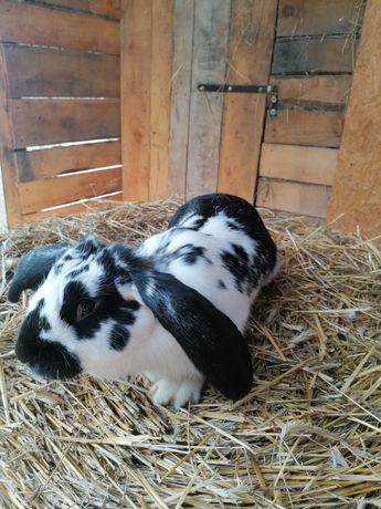 Sprzedam młodą samice królika