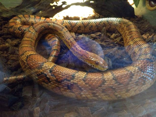 Sprzedam węża Zbożowego