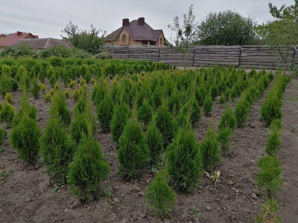 Туї Смарагд. Декоративні рослини та кущі, власного вирощування. Туї