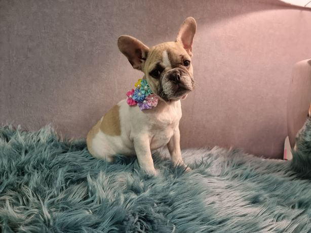 Bulldog francês menina
