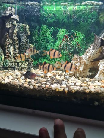 Barbos tigre juniores