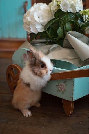 Декоративный кролик mini lop, nhd
