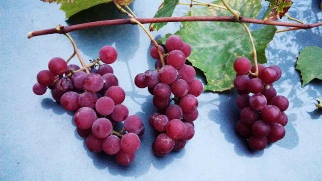 Обрізка винограду різних сортів.