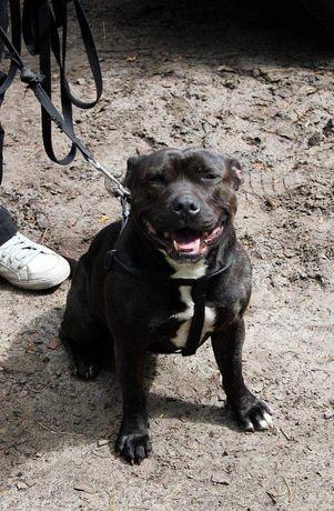 Zaginęła suczka rasy staffordshire bull terrier (staffik)