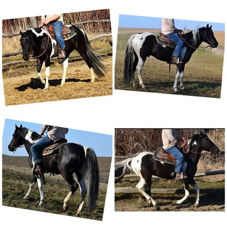 Ogier american paint horse aph
