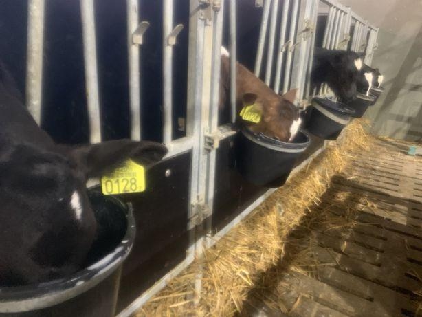Cielęta byczki sprzedam