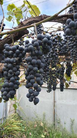 Продам на вино виноград  кудрик -5 грн.1 кг.