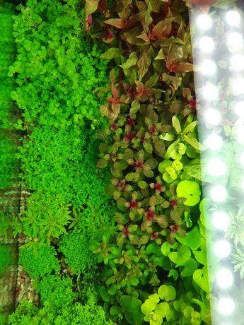 Rośliny akwariowe nowa dostawa 26.04.21r