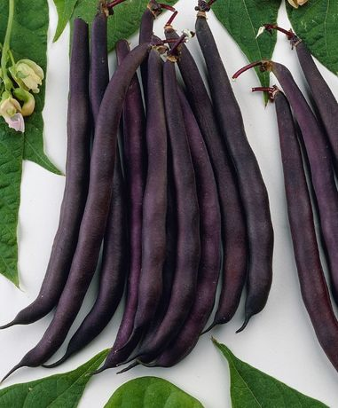 Семена фасоли Вигна и Баухильде, Кукуруза Амеро, Фикус, Хлорофитум