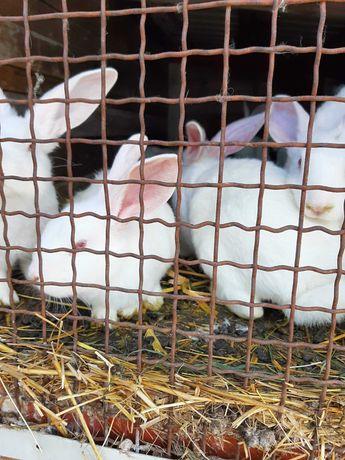 Sprzedam małe króliki 30zł sztuka