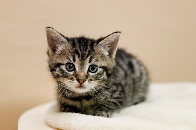 Kacper - 2-miesięczny koteczek