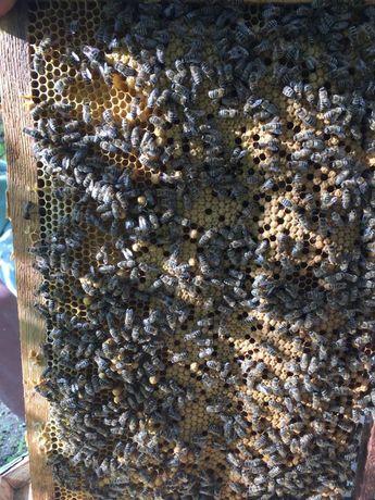 Пчелосемьи, пчелопакеты