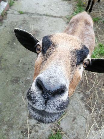 5-miesięczne owce kameruńskie