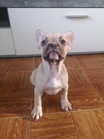 Bulldog francês fêmea choco fawn
