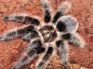 малыши паук птицеед павук птахоїд брахипельма brachypelma