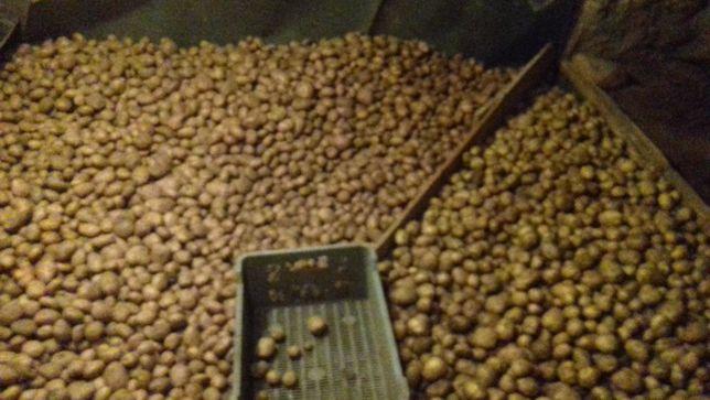 Ziemniaki jadalne ekologiczne Amerykany i Vineta