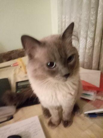 Невский маскарадный кот на вязку