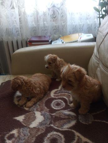Szczeniaki Yorkshire Terrier Color o maści Golddust