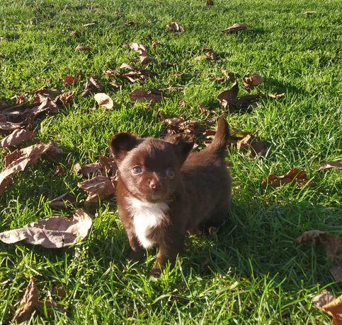 Chihuahua piesek czekoladowy FCI