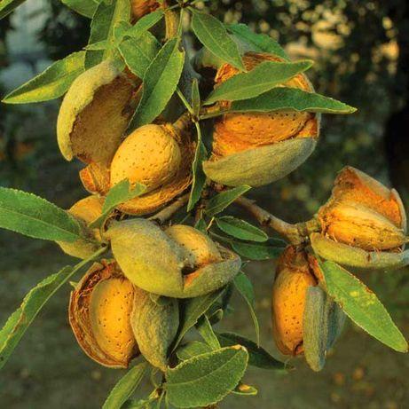 Саженцы миндаля сладкого плодового, грецкого ореха с питомника