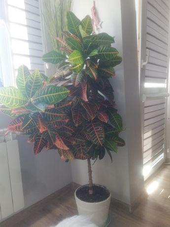 Kwiat kroton pstry 150 cm