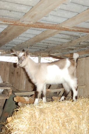 Супер козочка от 100% породистого альпийского козла, коза зааненская