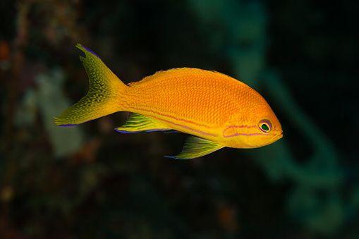 Pseudanthias pleurotaenia (Female)