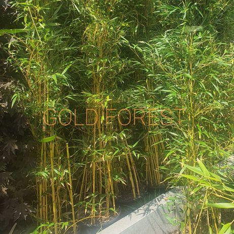 Бамбук золотой зеленый чёрный