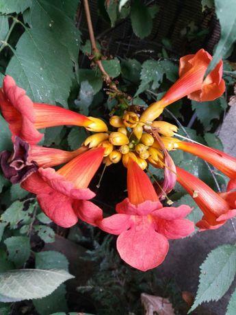 Садовые растения. Хосты