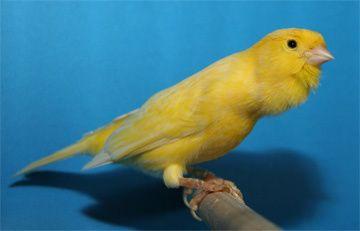 Vendo canarios a cantar amarelos